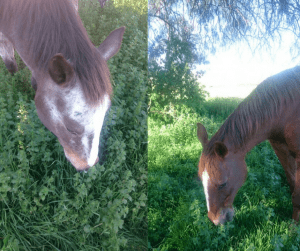 Horses love eating nettles