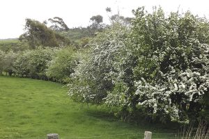 HAWTHORN HEDGEROW