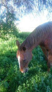"Can horses ""Self Medicate"" on Pasture? Victoria Ferguson"