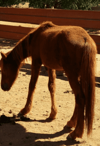New Life for Rescued Brumby with Natural Help Victoria Ferguson