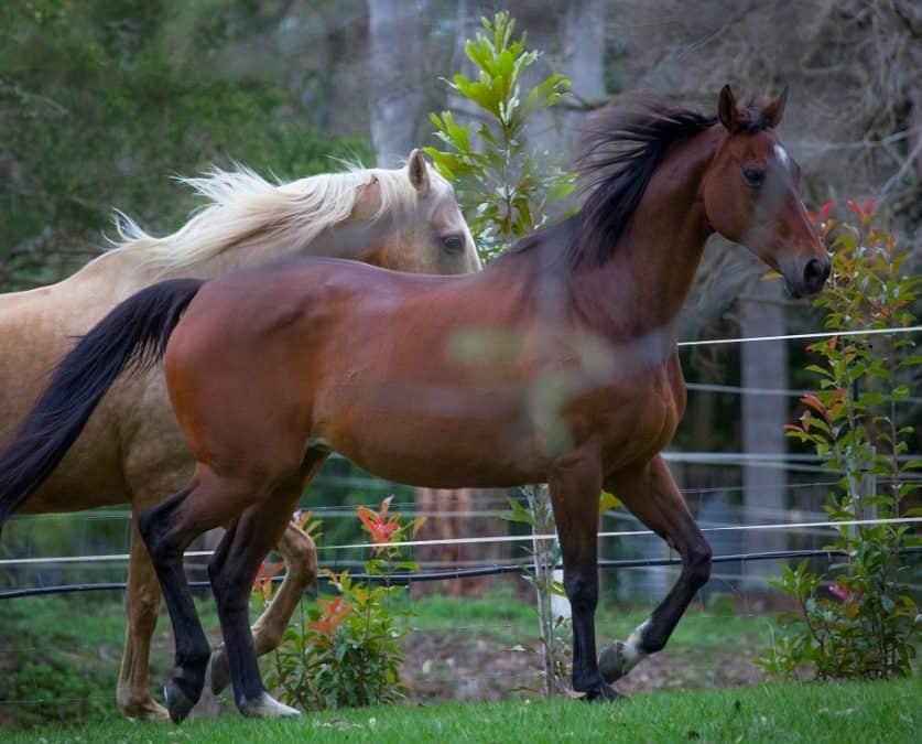 Equine Inflammatory Airway Disease – Herbal Solution